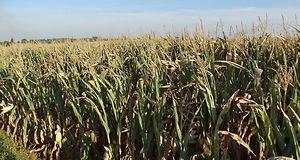 kukurydza na kiszonkę, zbiory kukurydzy na kiszonkę, sucha masa, zakiszanie, jakość kiszonki, susza, termin koszenia