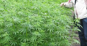 uprawa konopi, uprawa lnu, rośliny włókniste, rafał bogucki, Instytut Włókien Naturalnych i Roślin Zielarskich
