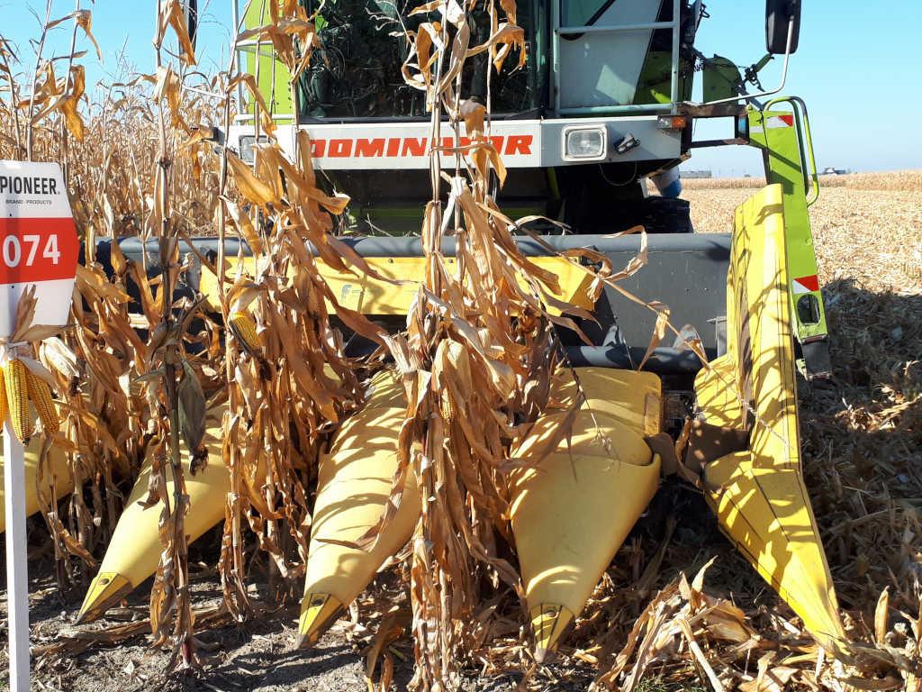 Uprawa kukurydzy cieszy się coraz większą popularnością. Foto_Arkadiusz_Artyszak